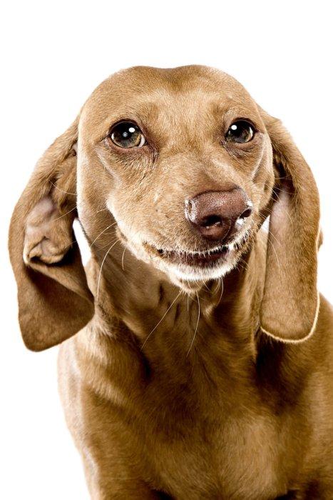 close up at brown dog