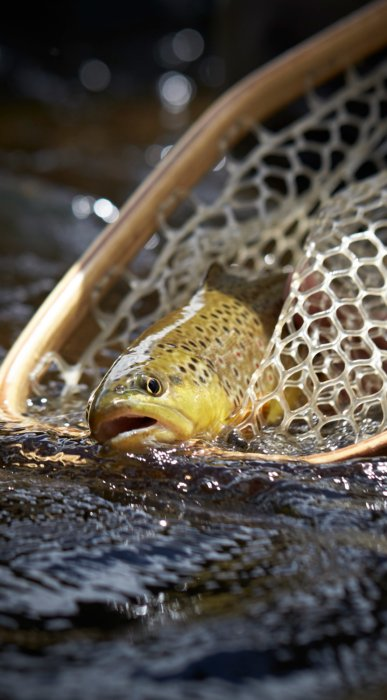 A trout coming out of a fishing net in a stream