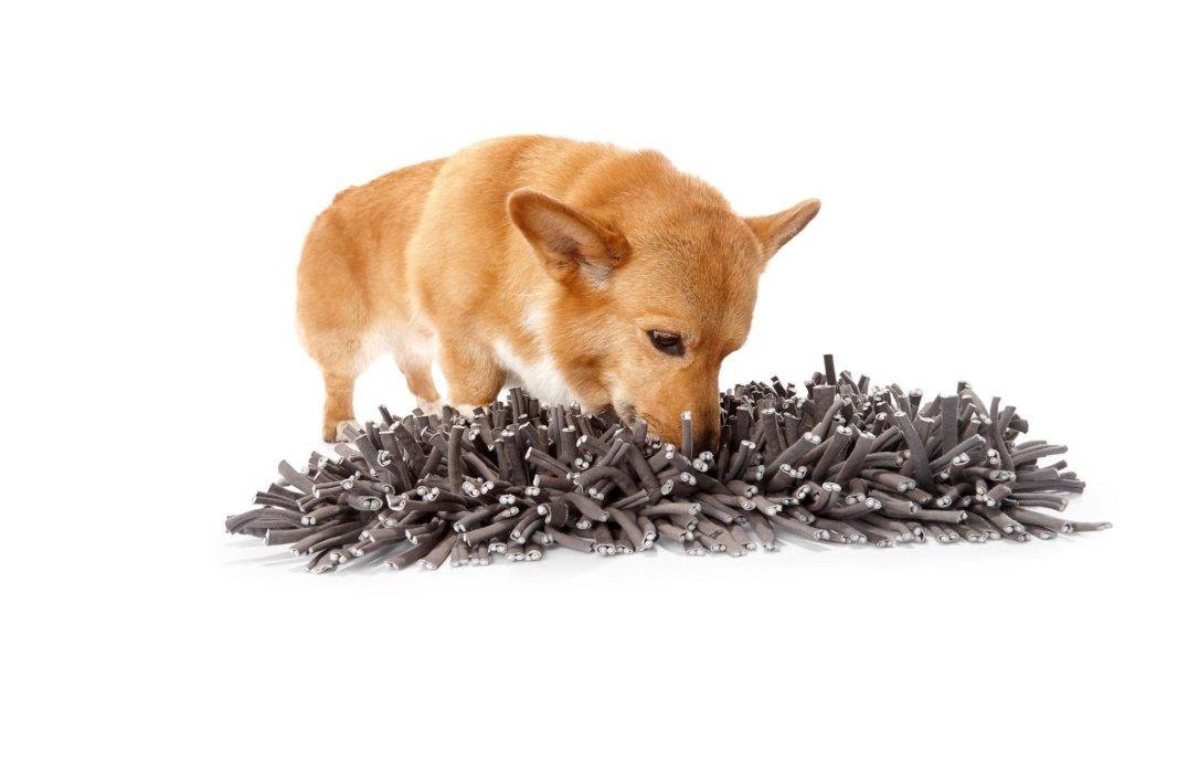 A corgi dog sniffing a fuzzy snuggle mat