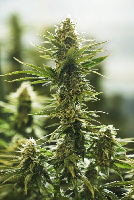 Cannabis plant under the sun cbd photography