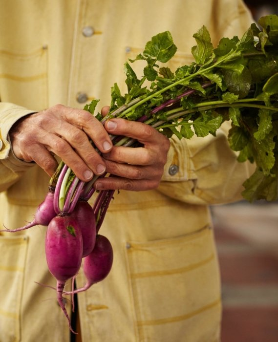worker hold fresh food purple radish