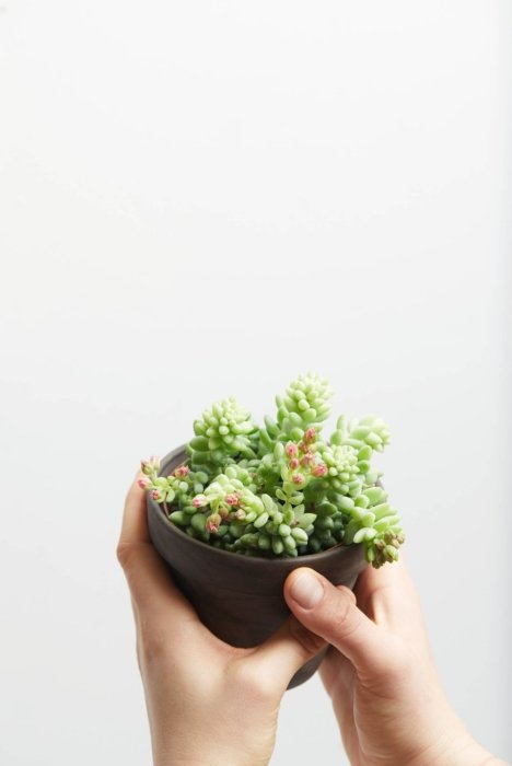 Two hands holding up a succulent in a brown pot