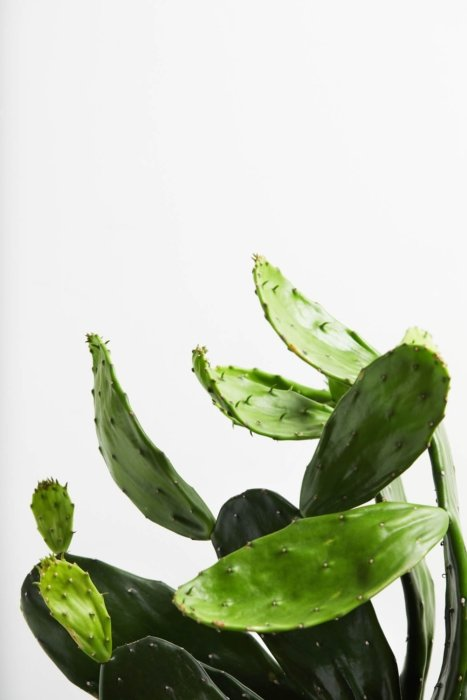 Prickly pear cactus leaves moving up a white wall