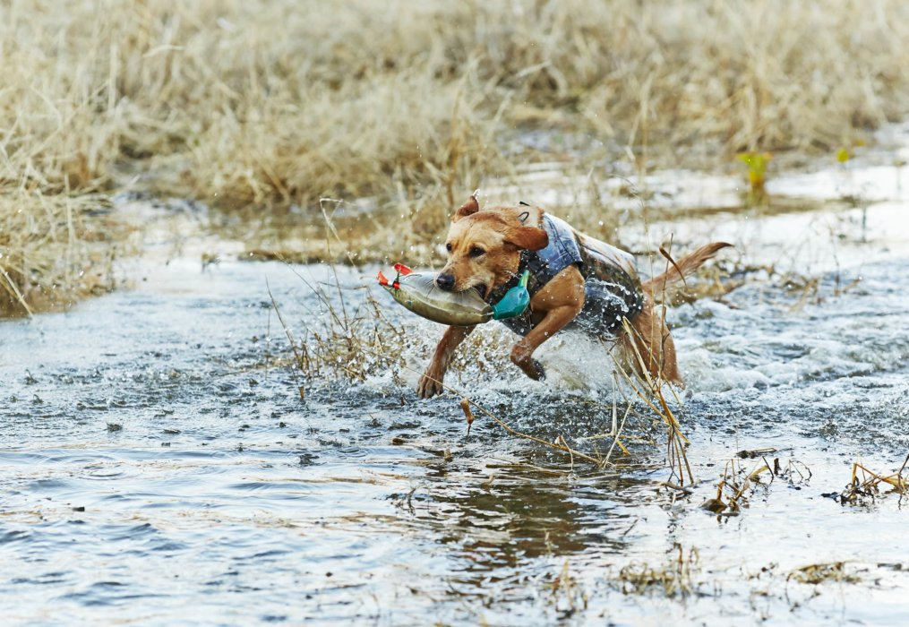 A dog running throught a wet lands area with a training duck in mouth