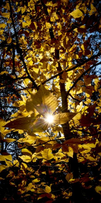 Golden leaves with sunlight breaking through trees - Nature Photography