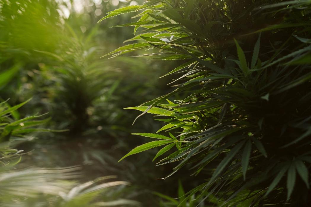 Hemp and cannabis plants at hemp CBD Farm - Cannabis photography